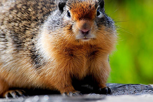 Columbian Ground Squirrel by Don and Bonnie Fink