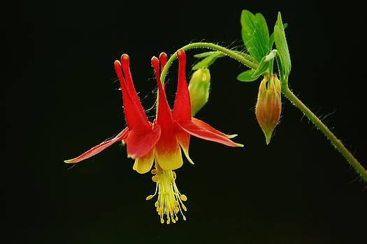 Columbine Flower by Joy Bradley