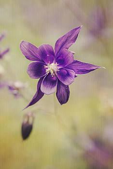 Columbine Flower by AugenWerk Susann Serfezi