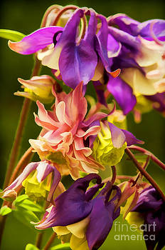 Columbine by Gry Thunes