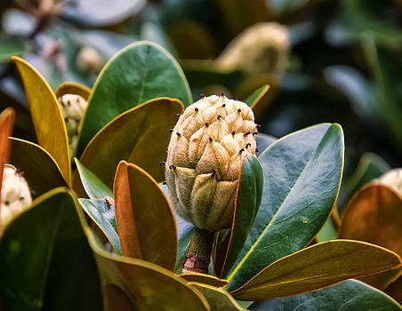 Chris Flees - columnar Southern magnolia