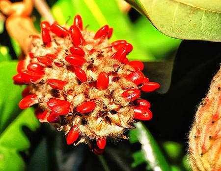Chris Flees - columnar Southern magnolia pod