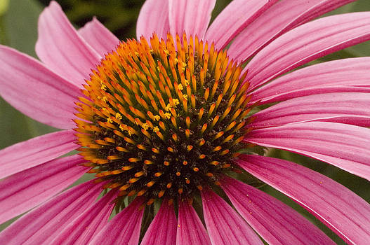 Comely Cone Flower by Nancy Myer