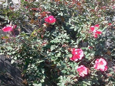 Coming up Roses by Karen Jensen