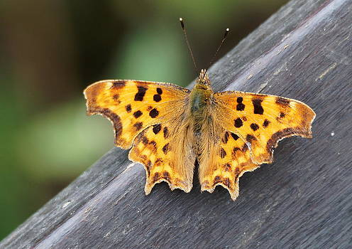 Paul Gulliver - Comma Butterfly