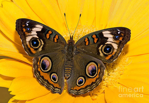 Millard H Sharp - Common Buckeye Butterfly