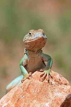 Common Collared Lizard 2 by Elizabeth Budd