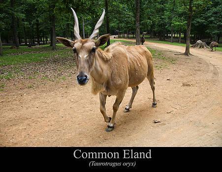 Chris Flees - Common Eland