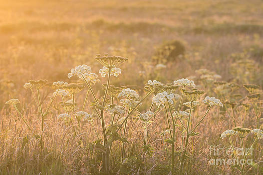 Anne Gilbert - Common Hogweed Sunset
