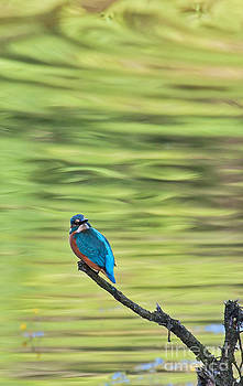 Common Kingfisher by Jean-Luc Baron