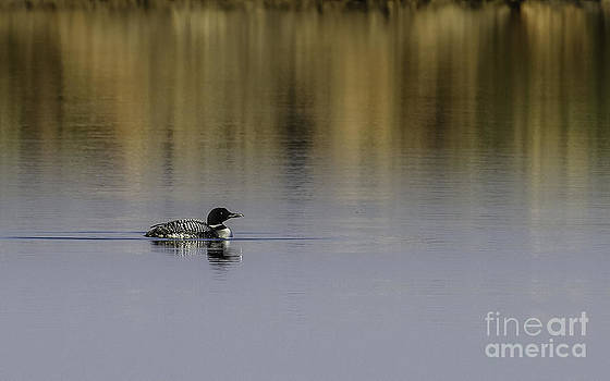 Common Loon by Royce  Gideon