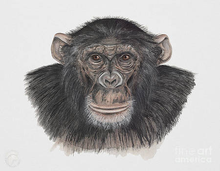 Common or Robust Chimpanzee - Pan troglodytes - Chimpanze - Chimpance - Scimpanze - Simpansi - Ape  by Urft Valley Art