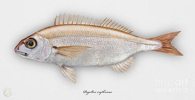 Common pandora Pagellus erythrinus - Pageot commun - Breca - Bica - Punapagelli - Seafood Art by Urft Valley Art