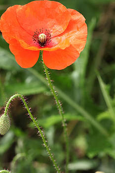Common Poppy by Paul Lilley
