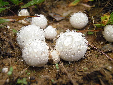 Common Puffball Dewdrop Harvest by Nicole Angell