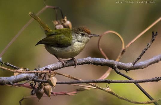 Common Tailerbird by Virag Yelegaonkar