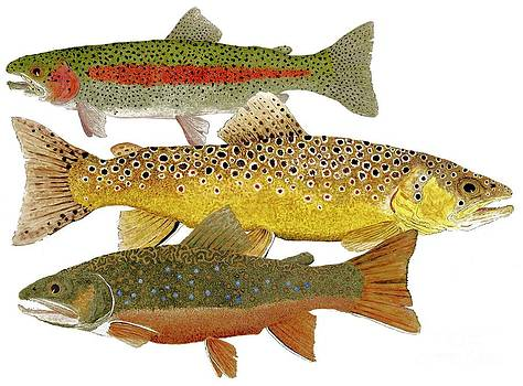 Common Trout  Rainbow Brown and Brook by Thom Glace