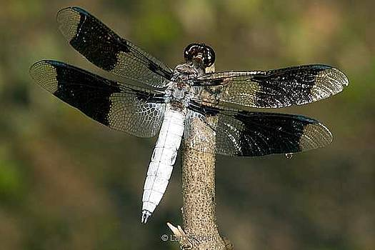 Common White Tail Dragonfly by Larry Eicher