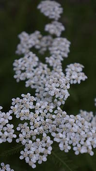 Dawn Hagar - Common Yarrow Achillea millefolium