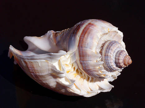 Conch Shell on Black tile by Jonathan Androwski