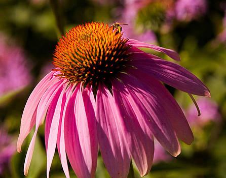 Devinder Sangha - Cone flower and bee