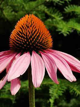 Dawn Hagar - Cone Flower
