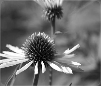 Cone Flower by Mary Underwood