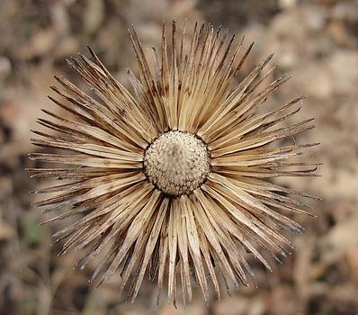 Dawn Hagar - Cone Flower Seed Star