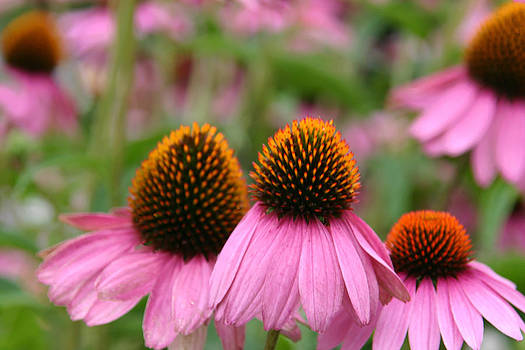 Cone Flower Trio by Denyse Duhaime