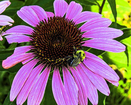 Cone Flower with Bumblebee by Gordon H Rohrbaugh Jr