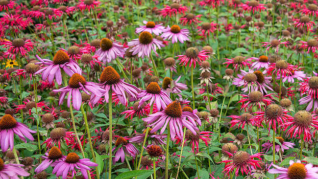 Cone Flowers by Guy Whiteley