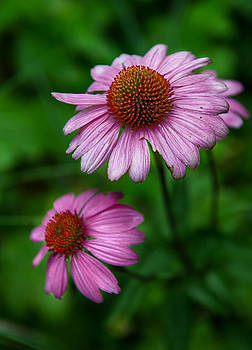 Cone Flowers by Louise St Romain