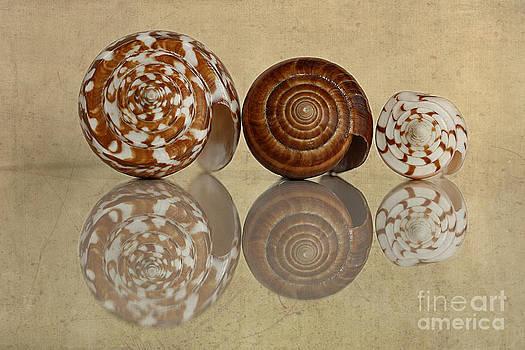 Cone Shells by Cindi Ressler