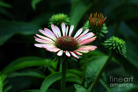 Coneflower 2014 by Marjorie Imbeau