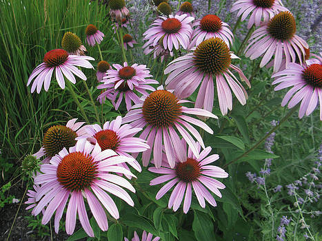 Coneflower by Jill Bell
