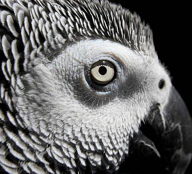 Congo African Grey 2 by Paulina Szajek