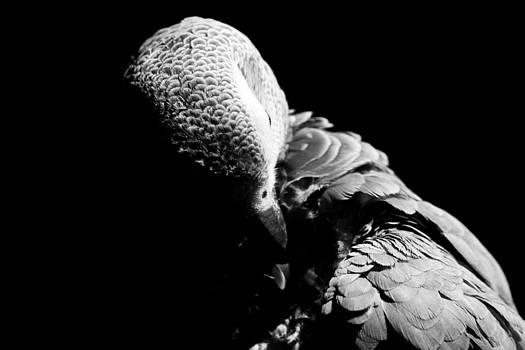 Congo  African Grey 5 by Paulina Szajek