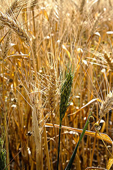 Contrast Of Wheat by Dan Quam