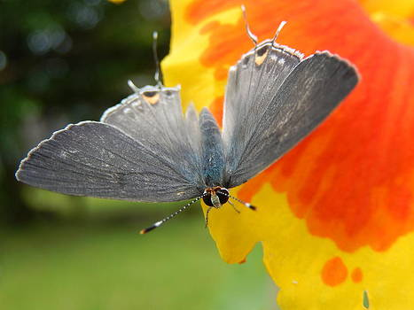 Contrasting Butterfly by Rosvin Des Bouillons