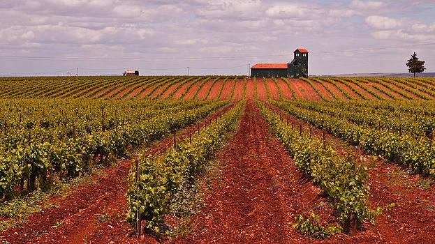 Convergent vineyard by Jawaharlal Layachi