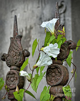 Convolvulus on a church fence by Skyfish Images