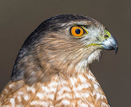 Coopers Hawk by Mike Watts