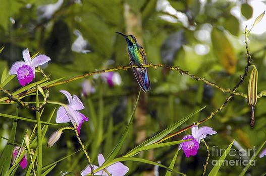 Bob Phillips - Copper-Rumped Hummingbird