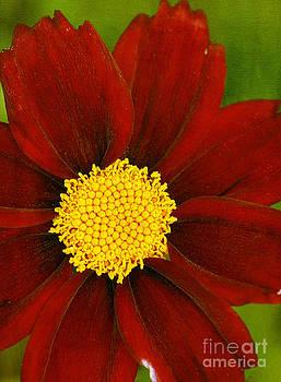 Coreopsis Mercury Rising by Cindi Ressler