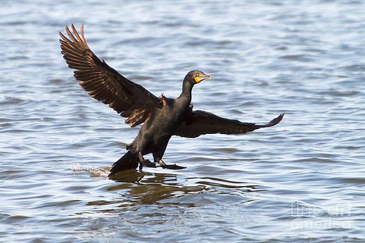 Michael McStamp - Cormorant Landing