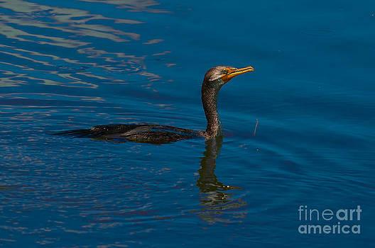 Photos By  Cassandra - Cormorant Swimming