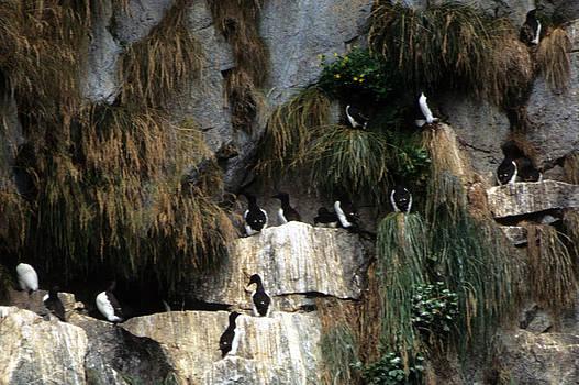 Harold E McCray - Cormorants - Alaska