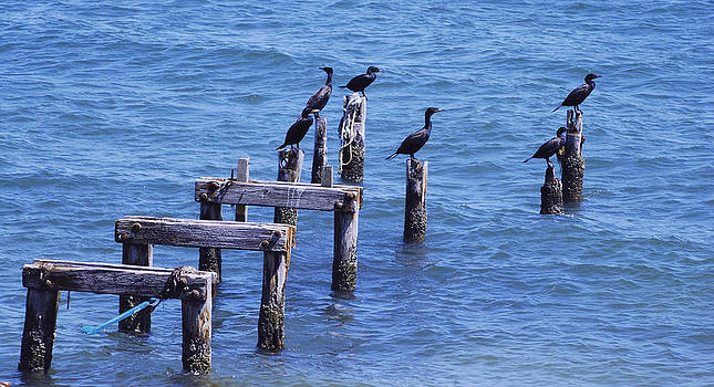 Cormorants by Lorena Mahoney