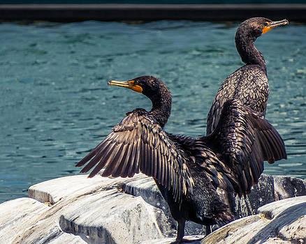 Cormorants by Tom Gort