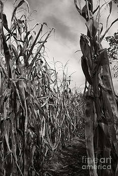 Linda Shafer - Corn Maze - sepia